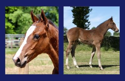CHARMING BOY DE WILL Z (CATOKI x LE BLUE DIAMOND V'T RUYTERSHOF)